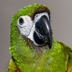 Ara Severa (Severe Macaw)