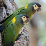 Ara Auricollis  (Yellow- Collared macaw)