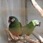 Ara Maracana (Illiger's Macaw)