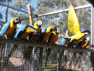 blue-and-gold-macaw-031-490x370