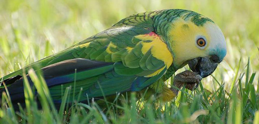 Amazona aestiva (Amazona aestiva xanthopteryx)