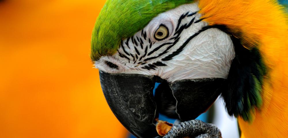 Ara Ararauna (ara giallo-blu)
