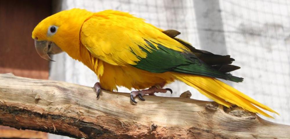 Guaruba guarouba (parrocchetto dorato)