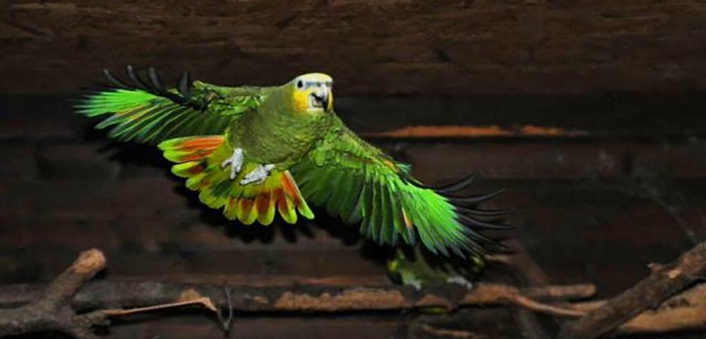 Amazona amazonica (amazzone aliarancio)